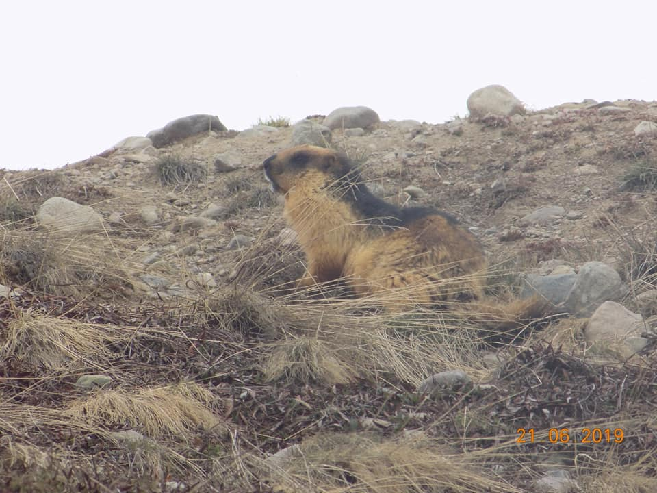 Marmot in Deosai national park